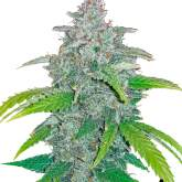 Blue Dream'matic Autoflowering Feminised Seeds
