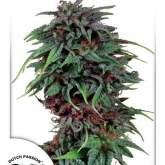 Durban  Poison  Dutch  Passion 031 0