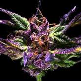 Grand Daddy Purple - 5 FEMINISED Seeds