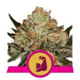 Hulkberry  Feminised  Cannabis  Seeds  Royal  Queen  Cannabis  Seeds 0