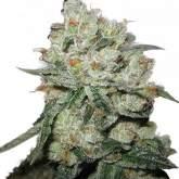 Og  Kush  Feminised  Cannabis  Seeds  Phoenix  Cannabis  Seeds 0
