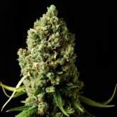 Original  Skunk  Feminised  Cannabis  Seeds  Phoenix  Cannabis  Seeds 0