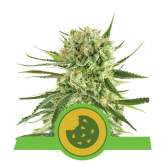 Royal  Cookies  Auto  Feminised  Cannabis  Seeds  Royal  Queen  Cannabis  Seeds 0