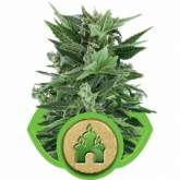 Royal  Kush  Automatic  Feminised  Cannabis  Seeds  Royal  Queen  Cannabis  Seeds 0