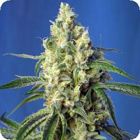 Green Poison CBD Feminised Seeds