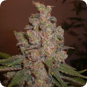 Cheese Auto Feminised Seeds (formerly Funk Skunk Auto)