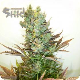 Stitch's Love Potion Auto Regular Seeds