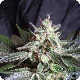 Black Jack Feminised Seeds