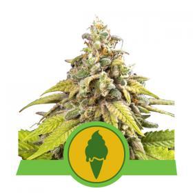 Green Gelato Auto Feminised Seeds