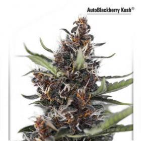 Blackberry Kush Auto Feminised Seeds