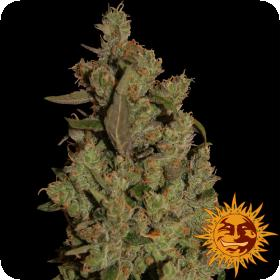 Critical Cure CBD Feminised Seeds