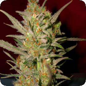 Sweet Haze Regular Seeds