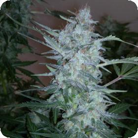 White Sirius Auto Regular Seeds