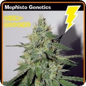 Chemdogging Auto Feminised Seeds