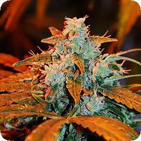 Auto  Blueberry  G13  Labs  Cannabis  Seeds  Jpg