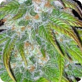 BC Big Bud Regular Seeds
