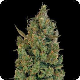 Blueberry Cheese (Blue Cheese) Feminised Seeds