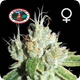 Black Cheese Feminised Seeds