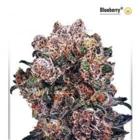 Blueberry  Feminised  Cannabis  Seeds  Dutch  Passion 0