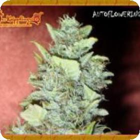 Bubba Gum Auto Feminised Seeds