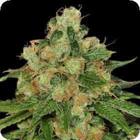 Caramel CBD Regular Seeds