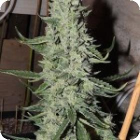 O.D.B (Old Dirty Biker) aka Cheesy Rider Feminised Seeds