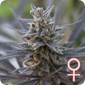 Spontanica Feminised Seeds