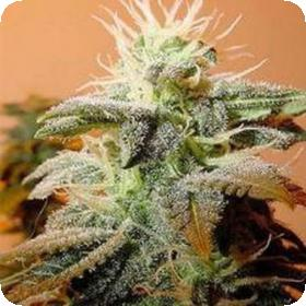 Indoor Mix Feminised Seeds