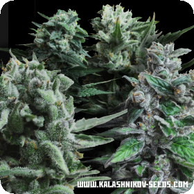 Feminised Seeds Mix