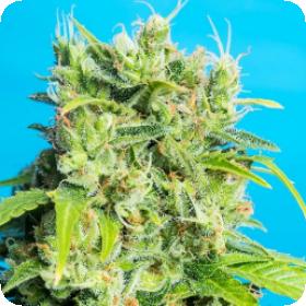 Heaven  039  S  Gate  C B D  Feminised  Cannabis  Seeds  Jpg