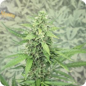 Hermana de la Noche Feminised Seeds