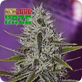 One Love Haze by Little Pepe Feminised Seeds