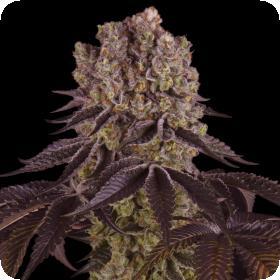 Purple Punch Feminised Seeds