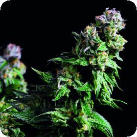 Purple  Urkle  Jpg