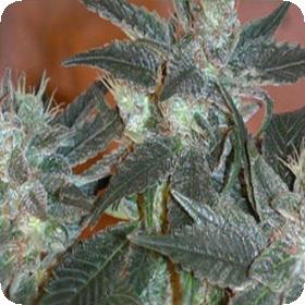 L.A. Ultra Feminised Seeds