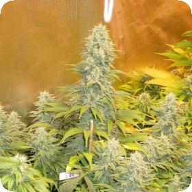 Double Dutch Regular Seeds