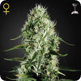 Super Silver Haze Feminised Seeds