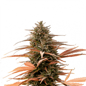 Strawberry Cake CBD Feminised Seeds