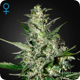 Super Critical - Auto Feminised Seeds