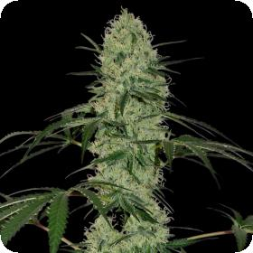Sweet Tooth Auto Feminised Seeds