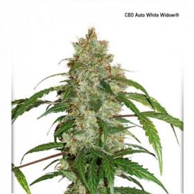 White Widow CBD Auto Feminised Seeds