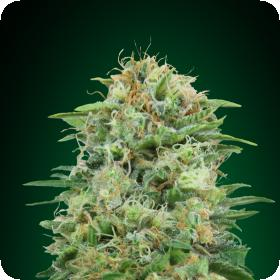 White Widow CBD Feminised Seeds