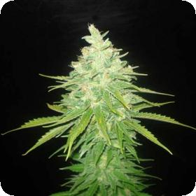 Afghan Kush x Black Domina Feminised Seeds