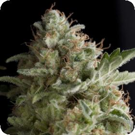 American Pie Feminised Seeds
