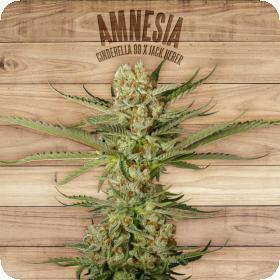 Amnesia Feminised Seeds