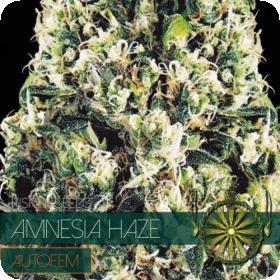 Amnesia Haze AUTO Feminised Seeds