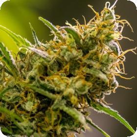 Apollo Haze Regular Seeds