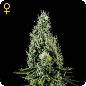 Arjan's Haze #3 Feminised Seeds