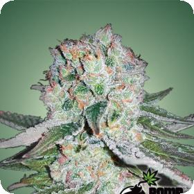 Banana Bomb Feminised Seeds