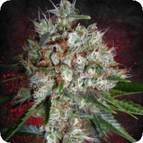Big Bud XXL Feminised Seeds